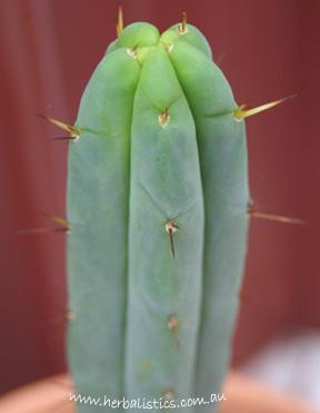 Trichocereus Bridgesii – Achuma (cactus)