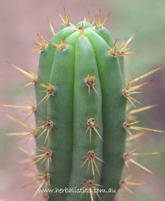 Trichocereus Cuzcoensis – 150mm Cutting