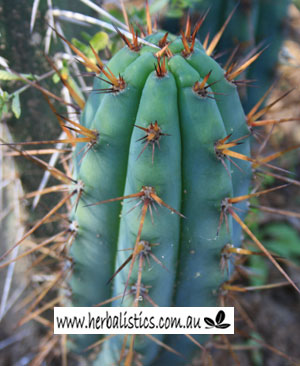 Trichocereus Peruvianus 'MG Red Spine' 150mm Cutting