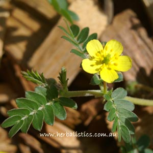 Tribulus Micrococcus – Spineless Caltrop (seed)