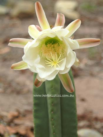 Trichocereus Scopulicola 200mm Cutting