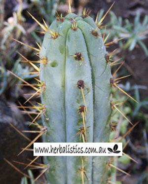Trichocereus peruvianus aricapampa