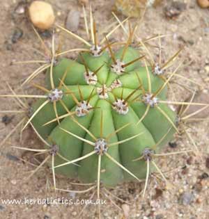 Trichocereus Terscheckii (cactus)