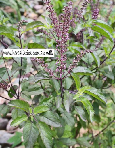 Ocimum Sanctum – Krishna Tulsi (seed)