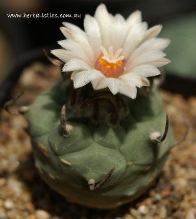 Turbinicarpus Schmiedickeanus Ssp. Schwarzii (Cactus)