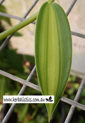Vanilla Planifolia Variegata – Variegated Vanilla (plant)