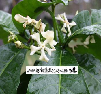 Voacanga Africana (plant)