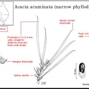 acuminata_narrow_phyllode_variant
