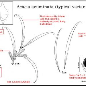 acuminata_typical_variant
