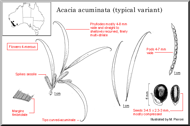 Acacia Acuminata – Raspberry Jam Wattle (plant)