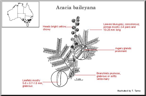 Acacia Baileyana – Cootamundra Wattle (seed)