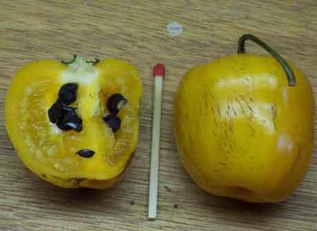 Capsicum Pubescens 'Canario' (seed)