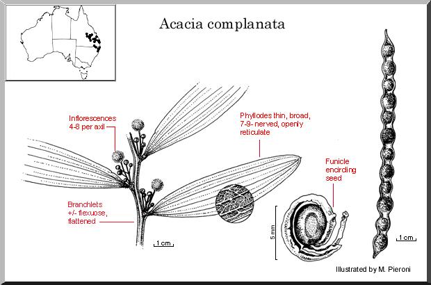 Acacia Complanata – Flat Stemmed Wattle (seed)