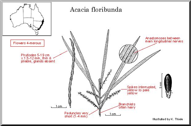 Acacia Floribunda – Gossamer Wattle (seed)