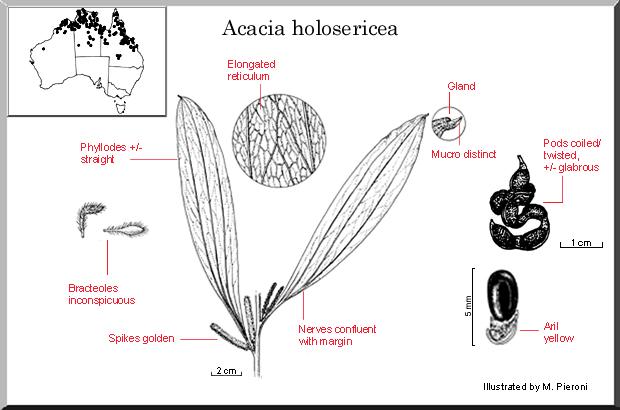 Acacia Holosericea (seed)