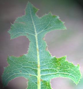 Lactucarium (Lactuca Virosa Extract) 1g