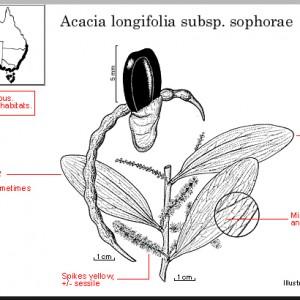 longifolia_subsp_sophorae