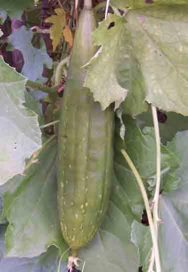 Luffa Cylindrica – Luffa Sponge (seed)