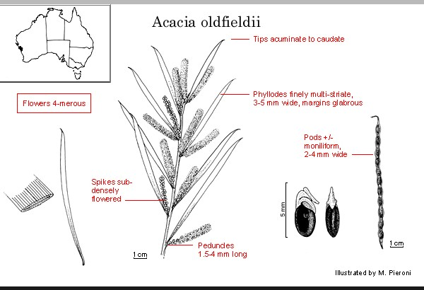 Acacia oldfieldii