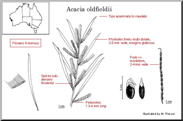 Acacia Oldfieldii (plant)