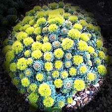 Roseroot (Rhodiola Rosea) 50g