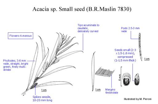 Acacia acuminata var small seed