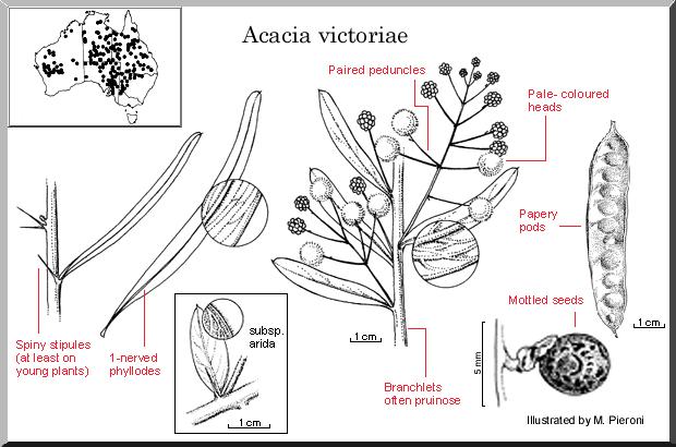 Acacia Victoriae – Bramble Wattle (seed)