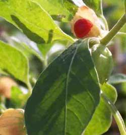 Withania Somnifera – Ashwaghanda (seed)